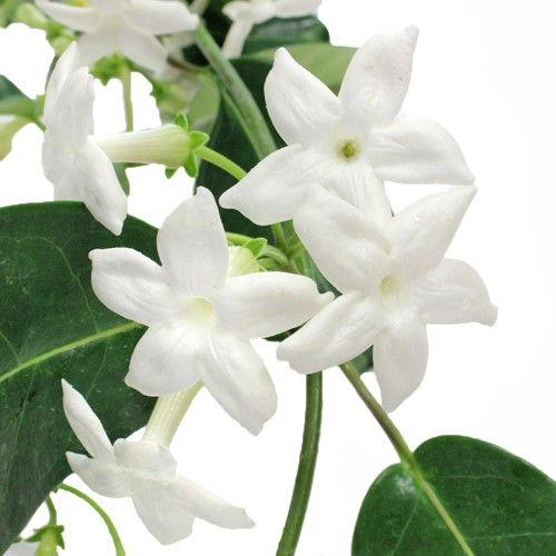 stephanotis.jpg